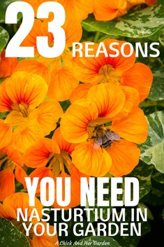 Cottage Garden Design Nasturtium is one of the easiest annuals to grow! And this is a great list of why you need it! Garden Design Nasturtium is one of the easiest annuals to grow! And this is a great list of why you need it! Will Turner, Gardening For Beginners, Gardening Tips, Pallet Gardening, Fairy Gardening, Vegetable Garden Tips, Veggie Gardens, Annual Flowers, Garden Quotes