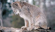 Le Lynx du Canada ou Lynx gris, Lynx polaire, Lynx Bleu ou Loup-cervier est de la taille d'un gros chat. Pour ne pas confondre le lynx du Canada avec son cousin le lynx roux, il faut observer les oreilles, la queue et les empreintes. Adapté aux climats froids, son aire de répartition englobe essentiellement le Canada et l'Alaska ainsi que le nord-est des États-Unis et une partie des Rocheuses.