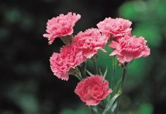 Border or garden carnations (Dianthus caryophyllus) are Mediterranean natives that can edge a garden with color as annuals or fill in as a shrubby perennial up to 14 inches tall. Hardy down to U.S. ...