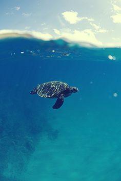 an old turtle suimming in a blue sea | summer time.