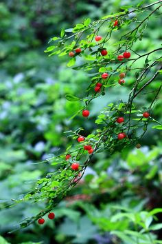 Red Huckleberry for Native Woodland at southEASTside.