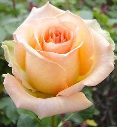 Versilia - Standard Rose - Roses - Flowers by category | Sierra Flower Finder. One of my favorites, a good sub for Juliet garden rose