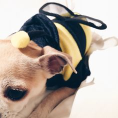 chico the chihuahua in a bee costume