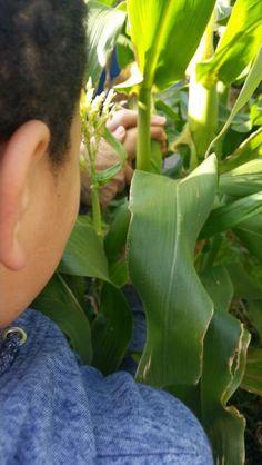 Corn picking time