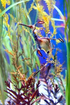 Sea Dragon seems to just blend in with the undersea foliage. Underwater Pictures, Underwater Life, Underwater Creatures, Ocean Creatures, Weedy Sea Dragon, Life Under The Sea, Salt Water Fish, Deep Blue Sea, Sea Monsters