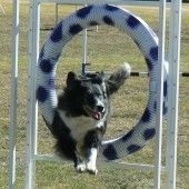 Smart Border Collie Training | How to Train a Border Collie