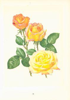 Rose Madame A. Meilland Planche originale 1950's, Botanique, plantes ornementales, rosiers, fleurs, décor campagne chic
