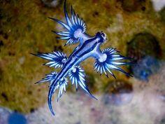 El dragón azul es una babosa marina, hermafrodita, que se alimenta de protozoos e incluso de aguijones.