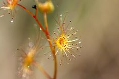 Glandular hairs: A type of trichome with a secretory gland at it's apex