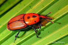 escarabajo picudo rojo  destructor de palmeras