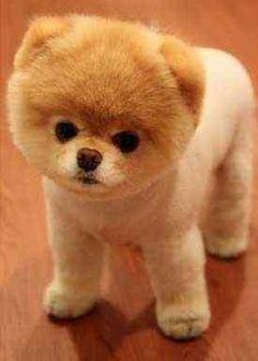 Pomeranian puopy