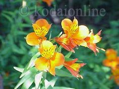 Image from http://www.kodaionline.com/Images/alstroemeria1.jpg.