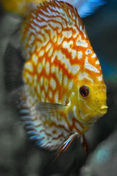 Discus Fish by Sebastian Sans