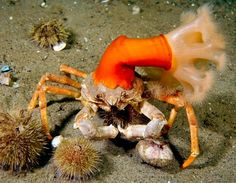 """This Toad Crab lives in symbiosis with a frilled anemone. Filtering more water vs nematocystes protection."
