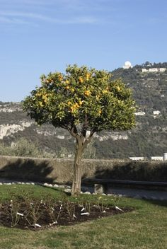 Pruning Orange Trees: When And How To Prune An Orange Tree - If left unpruned, growth can get vigorous and out of hand, so pruning orange trees will rein in their appearance. How do you go about trimming an orange tree and when is the best time to prune orange trees? This article will help.
