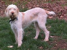 The  Spinone, also known as the Spinone Italiano, Spinone or Italian Griffon (Spinone is preferred as the breed is unique and indivisible) is an ancient breed dating back to as early as 500 B.C. ( Photo by Timberdoodle Kennels LLC )