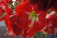"""Featured This big """" Monaco"""", lusty show-off is lipstick-red with a lime-green to white starburst and white stamen."""