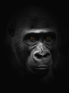 The eyes (Ron Meijer) Primates, Mammals, Art Pastel, Monkey Wallpaper, Safari Room, Monkey Pictures, Magnificent Beasts, Baboon, Cutest Animals