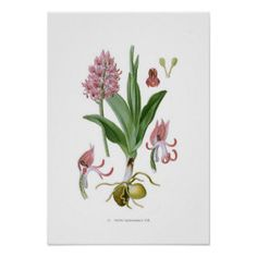 Orchis tephrosanthos posters