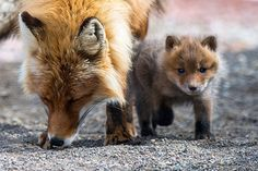 Red Foxes by Ivan Kislov