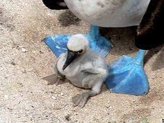 Baby Blue Footed Booby with its mom