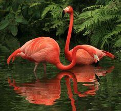 OS FLAMINGOS são aves pernaltas, de bico encurvado. Há várias espécies . A sua plumagem pode ser bastante colorida em tons de rosa vivo conforme os locais de alimentação algas e pequenos crustáceos através de filtração. São aves gregárias, que vivem em bandos numerosos junto a zonas aquáticas. Algumas espécies conseguem inclusivamente habitar zonas de salinidade extrema, como os lagos africanos do Vale do Rift. O flamingo é a ave nacional de Trinidad e Tobago.