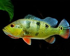 Peacock Bass - Tropical Fish - Attractive and Hardy Tropical Fish Aquarium, Fish Aquariums, Peacock Bass, Photos Of Fish, Beautiful Fish, Fish Art, Freshwater Fish, Bass Fishing, Goldfish