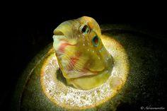 Underwater Macro Photographers  ·  ·  ·  ·  Peacock blenny (Salaria pavo)  Member Photographer Name: Adriano Morettin