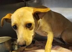 TO BE DESTROYED 04/30/17 ***REASON: SPACE*** 34919344 - Chihuahua - 2 years old - #34919344 - FOR MORE PICS, VIDEOS & INFO: http://www.dogsindanger.com/dog/1490239003471