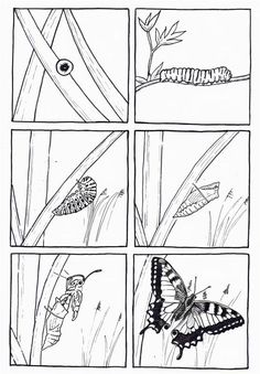 Toukka koteloituu.. ja siitä tulee perhonen