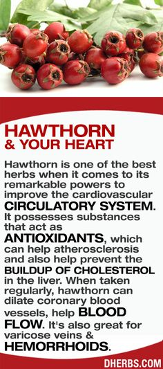 Hawthorn is one of the best herbs when it comes to its remarkable powers to improve the cardiovascular circulatory system. It possesses substances that act as antioxidants which can help atherosclerosis and also help prevent the buildup of cholesterol in Herbal Medicine, Natural Medicine, Natural Cures, Natural Healing, Herbal Remedies, Health Remedies, Health And Nutrition, Health And Wellness, Usa Health