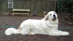 Sophie (Great Pyrenees Kenneview's Miss. Darlington, CGC)  Darlington Great Pyrenees.com THE LEGACY LIVES ON