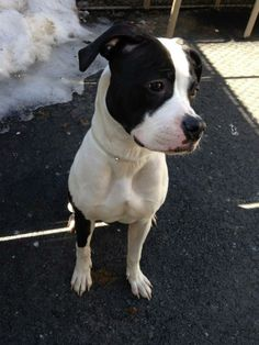 SAFE!!! Manhattan Center JUDITH - A0993481 I am an unaltered female, black and white Pit Bull Terrier mix. The shelter staff think I am about 2 years old. I weigh 54 pounds. I was found in NY 10457. I have been at the shelter since Mar 08, 2014. https://www.facebook.com/photo.php?fbid=770111149668433&set=a.617938651552351.1073741868.152876678058553&type=3&theater