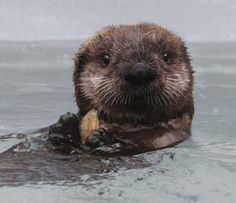Sea Otter Pups | otters have been poisoned by the microcystin toxin. This sea otter pup ...