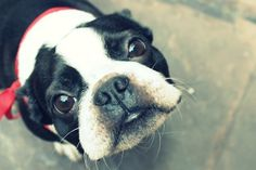 The Boston Terrier breed originated in Boston and is one of the few breeds that are native to the U. In the an inter-mixing of English Bulldogs I Love Dogs, Cute Dogs, Boston Terrier Love, Boston Terriers, Terrier Breeds, Terrier Dogs, Mans Best Friend, Best Dogs, Dog Lovers