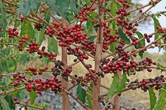 Who+Is+Ismene+in+the+Bean+Trees | once picked the red coffee beans have to be stripped of the outer ...