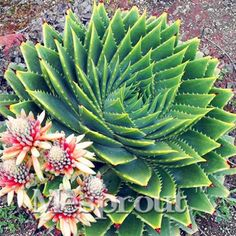 Rare Spiral ALOE Seeds Succulents Seed, MESA Aloe polyphylla rotation aloe vera queen seeds, 100pcs/bag-https://goo.gl/tHCuY8  #awesomesauce