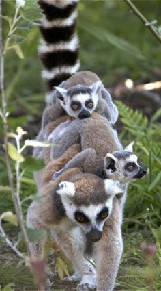 """RINGTAILED LEMUR.....live in the forests of southern Madagascar....the most recognizable species of lemur.....a body length of 15.5 - 18 inches, a tail length of 22 - 24 inches and a weight of 5.5 - 7.75 lbs.....agile climbers...spend lots of time on the ground basking in the sun....sit upright with their hands on their knees in a """"sun worship"""" posture"""