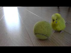 They are master of tricks... | 10 Reasons Why Budgies Are The Best  .... Actually, this budgie is trying to hump the ball >.>
