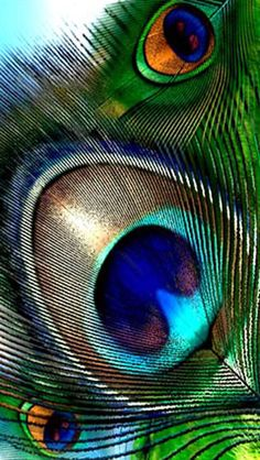 Peacock Feathers!