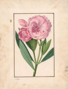 Pancrace Bessa | Double-flowered Oleander (Nerium oleander flore-pleno) | The Morgan Library & Museum
