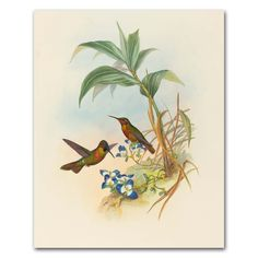 "Hummingbird Art Print (John Gould Artwork, Vintage Bird Bedroom Wall Decor) ""Banded Ruby"" -- Unframed. Hummingbird Art, Bird Print, Home Wall Decor, John Gould Artwork -- Unframed Print From a series of 8 John Gould natural history antique bird illustrations ""Banded Ruby"" fine art print of an 1850s watercolor painting by artist and ornithologist John Gould Finely detailed spring green, carmen red and soft violet birds; soft ivory background Frames not included Premium matte paper with..."