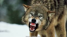 After a ruling by U.S. District Court Judge Beryl A. Howell, the western Great Lakes area #wolves are back on the endangered species list. How do you feel about this decision? http://hunting.scout.com/story/1495271-wolves-back-on-the-endangered-species-list?s=77