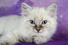 Nebula A Zwollywood Cat. Weeks old Ragdoll kitten. Blue tabby colourpoint from the Guardian of the Galaxy litter. Cattery, Kittens, Cats, Guardians Of The Galaxy, The Guardian, Blue, Animals, Cute Kittens, Gatos