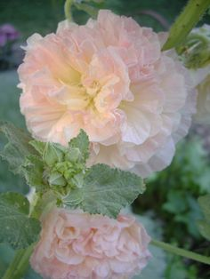 My Flower, Flower Power, Flower Ideas, Amazing Flowers, Beautiful Flowers, Growing Hollyhocks, Hibiscus Sabdariffa, Different Types Of Flowers, Purple Home