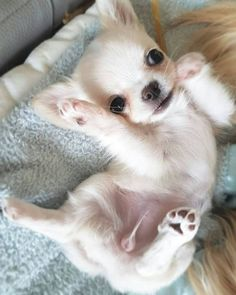 BREED OF THE WEEK: #chihuahua will make you smile all the time 🐶 Follow the link in our Bio to get one of these precious babies for yourself! #vippuppies DM for credit 💕 Cute Puppies, Cute Dogs, Dogs And Puppies, Baby Puppies, Doggies, Cute Baby Animals, Funny Animals, Chihuahua Love, Teacup Chihuahua Puppies