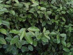 Eleagnus (Elaeagnus ebbingei), arbuste du jardin