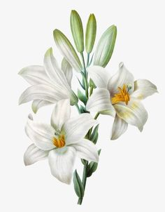 This PNG image was uploaded on March pm by user: and is about Flowers, Hand Painted, Hand Painted Clipart, Hand Painted Lily, Lily. Illustration Blume, Nature Illustration, Floral Illustrations, Floral Theme, Arte Floral, Botanical Flowers, Botanical Art, Watercolor Flowers, Watercolor Paintings