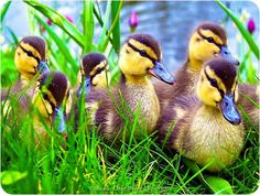 Poussins Canards
