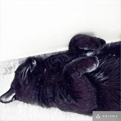 My little vampire and his afternoon nap. Squishy has an overbite and slightly crossed eyes and is the world's cuddliest cat. I read somewhere that since black cats gave been so persecuted all through the ages only the friendliest ones survived and passed on that DNA. I don't know if that's true since we've only ever had the one black cat but if you have a #housepanther too let me know! #catsagram #squishy